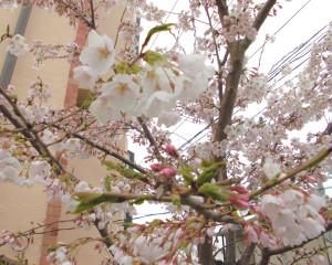 桜Ⅱ(2015年郡山)